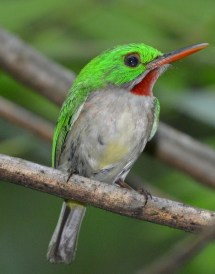 Broad-billed Tody, picture by Ted Eubanks
